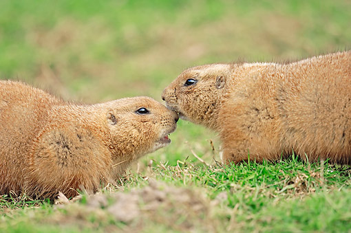 MAM 10 AC0004 01 © Kimball Stock Black-Tailed Prairie Dogs Saying Hello
