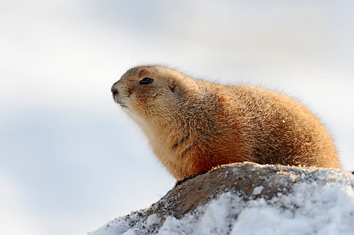 MAM 10 AC0006 01 © Kimball Stock Black-Tailed Prairie Dog Looking Out From Snow-Covered Rock