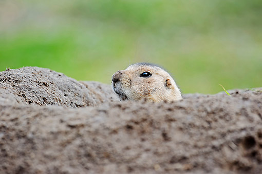 MAM 10 AC0007 01 © Kimball Stock Black-Tailed Prairie Dog Emerging From Burrow