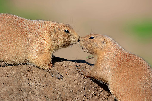 MAM 10 AC0008 01 © Kimball Stock Black-Tailed Prairie Dogs Greeting