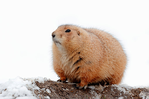 MAM 10 AC0009 01 © Kimball Stock Black-Tailed Prairie Dog Standing On Snowy Ground