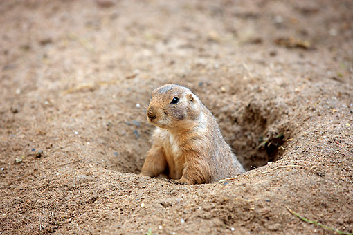 MAM 10 AC0011 01 © Kimball Stock Black-Tailed Prairie Dog Emerging From Burrow