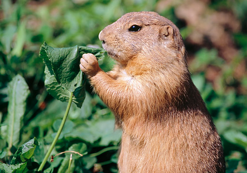 MAM 10 GR0006 01 © Kimball Stock Black-Tailed Prairie Dog Eating Leaf