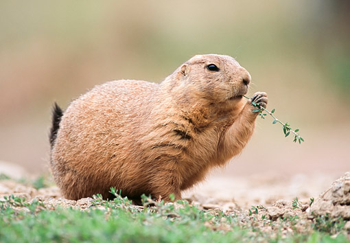 MAM 10 GR0008 01 © Kimball Stock Black-Tailed Prairie Dog Eating Leaf