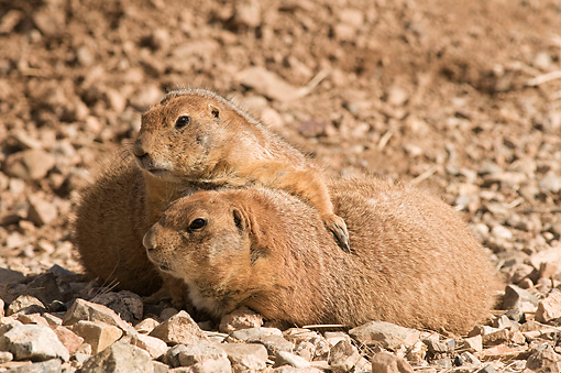 MAM 10 SK0001 01 © Kimball Stock Black-Tailed Prairie Dogs Resting In Desert