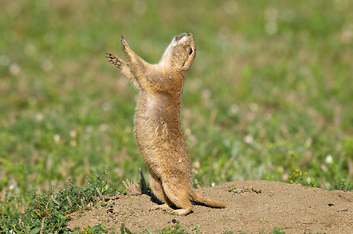MAM 10 TL0001 01 © Kimball Stock Black-Tailed Prairie Dog Doing A