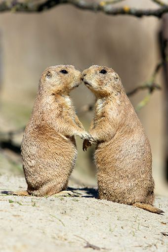 MAM 10 WF0001 01 © Kimball Stock Two Black-Tailed Prairie Dogs Sitting Upright On Sand Kissing