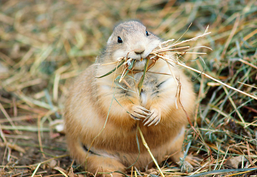 MAM 10 GR0001 01 © Kimball Stock Black-Tailed Prairie Dog With Grass In Mouth Sitting On Grass