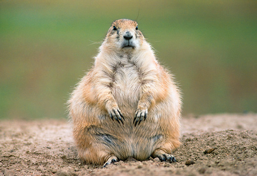 MAM 10 GR0002 01 © Kimball Stock Black-Tailed Prairie Dog Sitting On Dirt