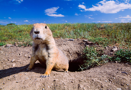 MAM 10 NE0001 01 © Kimball Stock Black-Tailed Prairie Dog Sitting At Edge Of Burrow Blue Sky