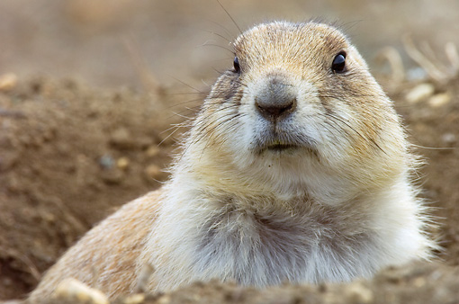 MAM 10 NE0002 01 © Kimball Stock Head Shot Of Black-Tailed Prairie Dog Peeking Out Of Burrow