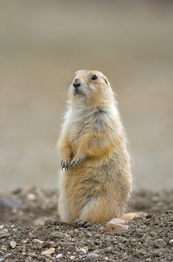 MAM 10 NE0003 01 © Kimball Stock Black-Tailed Prairie Dog Sitting Up On Dirt