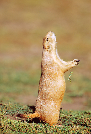 MAM 10 RF0009 01 © Kimball Stock Black-Tailed Prairie Dog Standing On Hind Legs Sniffing Air