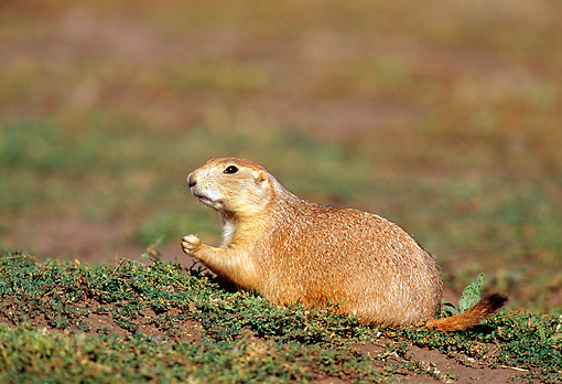 MAM 10 RF0010 01 © Kimball Stock Black-Tailed Prairie Dog Sitting In Field
