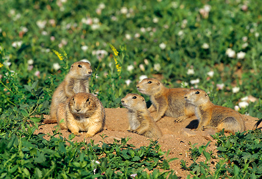 MAM 10 RF0011 01 © Kimball Stock Group Of Black-Tailed Prairie Dogs Sitting In Field At Entrance To Burrow