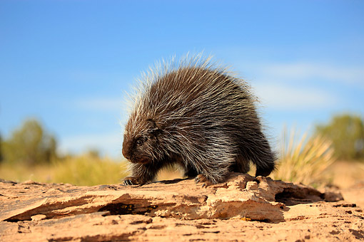 MAM 11 AC0002 01 © Kimball Stock North American Porcupine (Also Called Canadian Porcupine Or Common Porcupine) Walking Over Desert Rocks In Monument Valley, Utah, USA