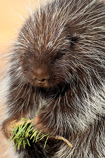 MAM 11 AC0003 01 © Kimball Stock North American Porcupine (Also Called Canadian Porcupine Or Common Porcupine) Portrait In Monument Valley, Utah, USA