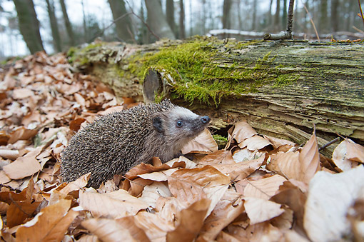 MAM 11 AC0005 01 © Kimball Stock European Hedgehog Playing In Leaves By Log In Forest
