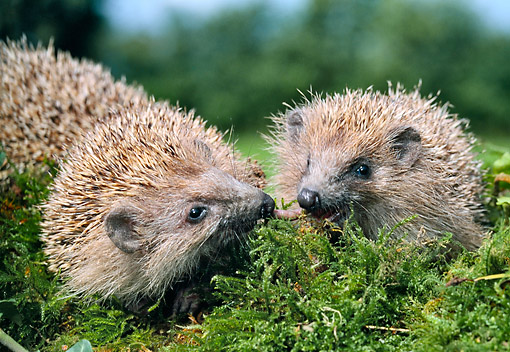 MAM 11 GL0003 01 © Kimball Stock European Hedgehogs Eating Worm