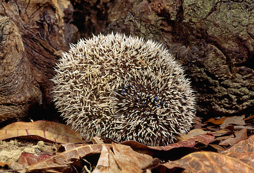 MAM 11 MC0001 01 © Kimball Stock Hedgehog Rolled Up On Forest Floor