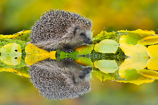 MAM 11 WF0002 01 © Kimball Stock Hedgehog Foraging Near Garden Pond With Reflection