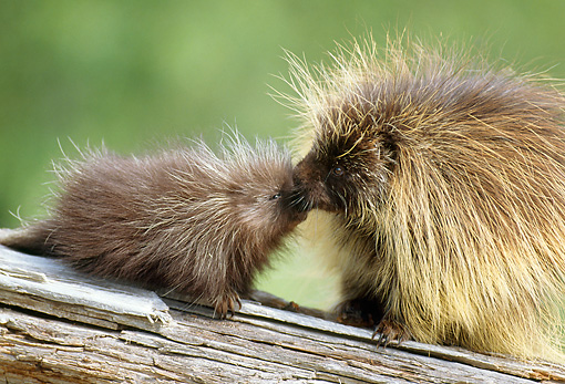 MAM 11 RF0009 01 © Kimball Stock Porcupine Mother Grooming Young On Log