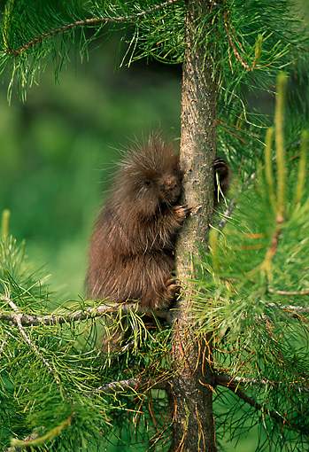 MAM 11 RW0001 01 © Kimball Stock Young Porcupine In Tree