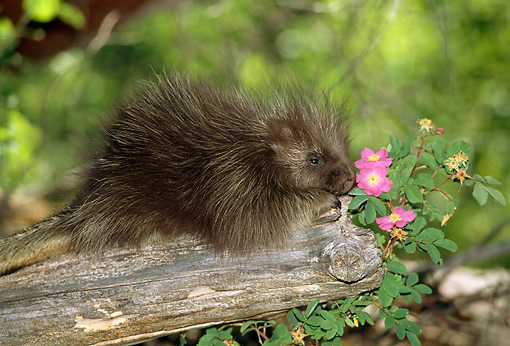 MAM 11 RW0002 01 © Kimball Stock Baby Porcupine Sitting On Log By Pink Flowers In Forest
