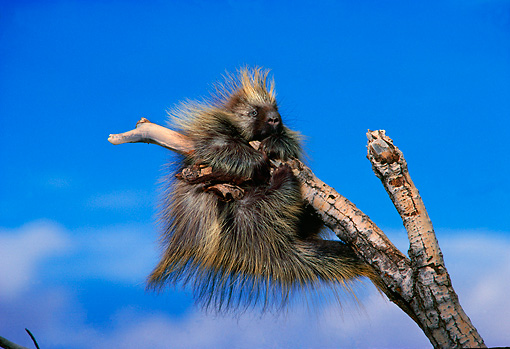 MAM 11 SM0037 01 © Kimball Stock Porcupine Trying To Climb On Branch After Wind Storm