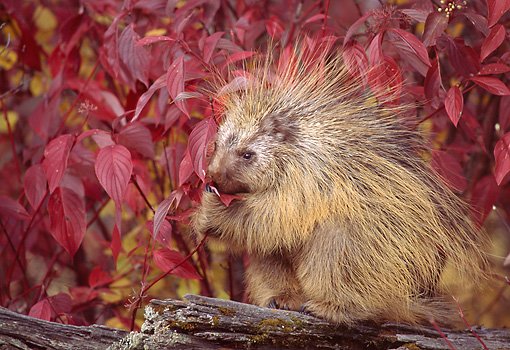 MAM 11 TK0001 01 © Kimball Stock Porcupine Sitting On Log By Autumn Shrub