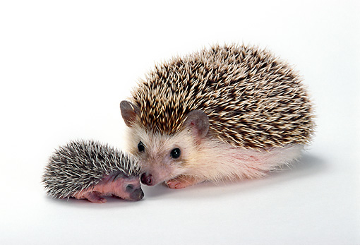 MAM 11 TK0004 01 © Kimball Stock Four-Toed (African Pygmy) Hedgehog Mother And Young Sitting On White Seamless