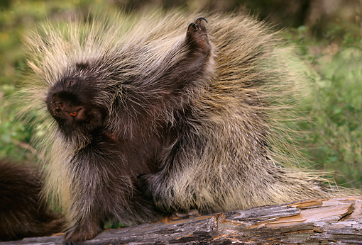 MAM 11 TL0002 01 © Kimball Stock Porcupine Scratching