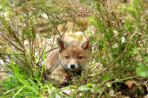 MAM 12 GL0003 01 © Kimball Stock Red Fox Laying In Brush