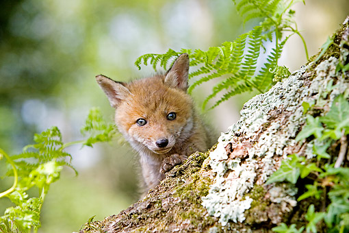 MAM 12 GL0008 01 © Kimball Stock Red Fox Peaking Head Out From Log In France