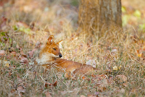 MAM 12 MC0001 01 © Kimball Stock Dhole Resting In Kanha National Park In Madhya Pradesh, India
