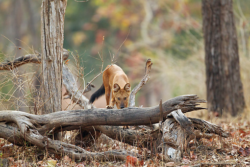 MAM 12 MC0002 01 © Kimball Stock Dhole Hunting In Kanha National Park In Madhya Pradesh, India