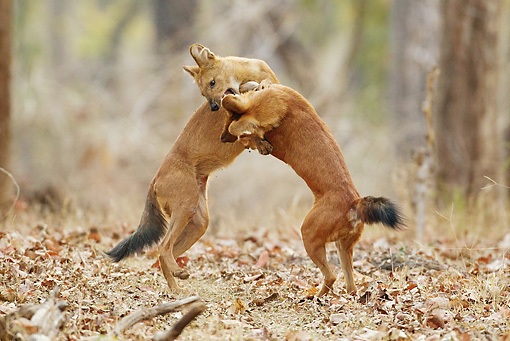 MAM 12 MC0003 01 © Kimball Stock Two Dholes Play Fighting In Kanha National Park In Madhya Pradesh, India
