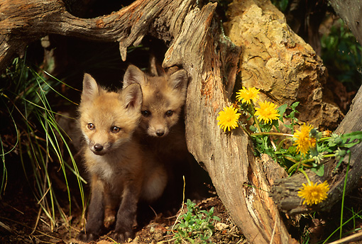 MAM 12 RW0002 01 © Kimball Stock Two Young Red Fox Pups At Den