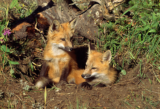 MAM 12 RW0003 01 © Kimball Stock Two Young Red Fox Pups At Den
