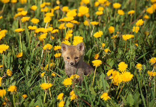 MAM 12 TL0001 01 © Kimball Stock Red Fox Pup In Flower Field