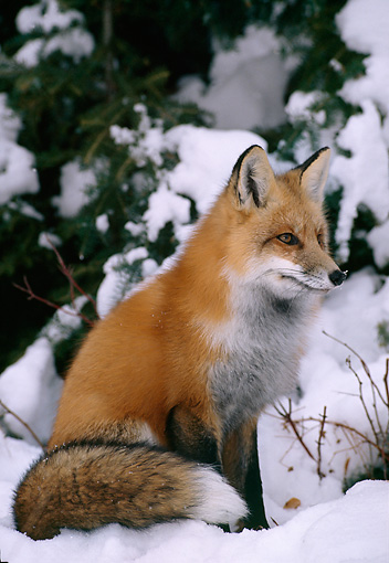 MAM 12 TL0002 01 © Kimball Stock Red Fox Sitting In Snow