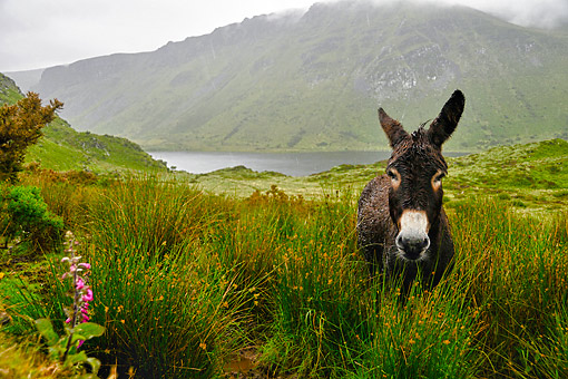 MAM 14 AC0001 01 © Kimball Stock Domestic Donkey Standing In Grass Mountain Landscape With Lake In Lough Annascaul, Ireland