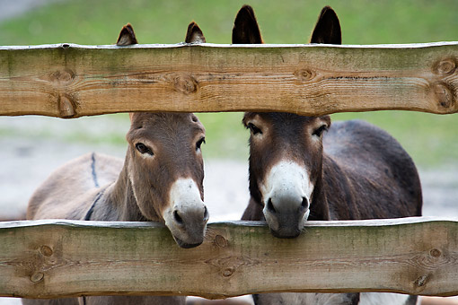 MAM 14 AC0005 01 © Kimball Stock Domestic Donkeys Poking Head Through Fence