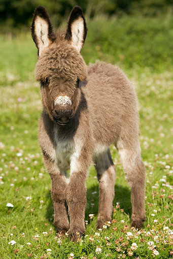 MAM 14 JE0003 01 © Kimball Stock Donkey Foal Standing In Pasture