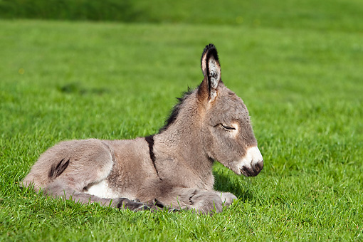 MAM 14 KH0074 01 © Kimball Stock Cotentin Donkey Colt Sleeping In Meadow