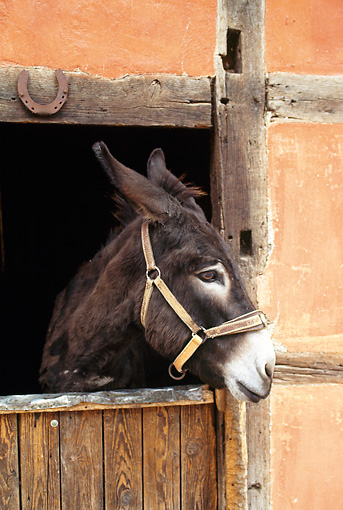 MAM 14 KH0077 01 © Kimball Stock Head Shot Of Grand Noir Du Berry Donkey Peeking Head Out Of Stable
