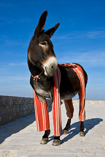 MAM 14 KH0078 01 © Kimball Stock Common Donkey Wearing Trousers Standing On Brick Path