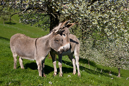 MAM 14 KH0080 01 © Kimball Stock Common And Cotentin Donkeys Standing By Cherry Blossom Tree