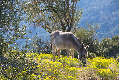 MAM 14 KH0092 01 © Kimball Stock Greek Donkey Grazing In Spring Meadow