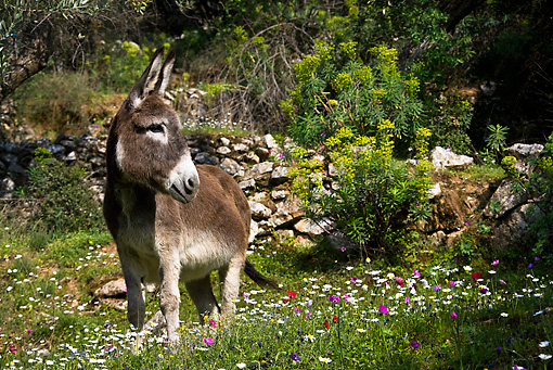 MAM 14 KH0094 01 © Kimball Stock Greek Donkey Standing In Spring Meadow By Wildflowers